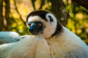 White Sifaka Lemur