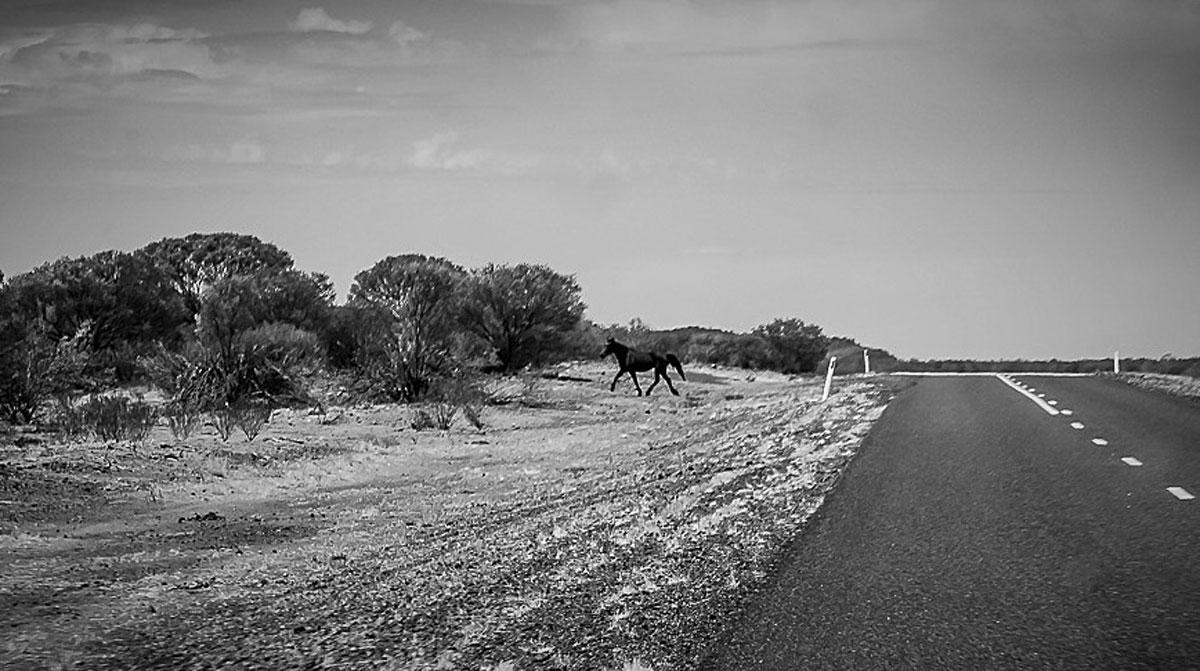 Australian Wild Horse