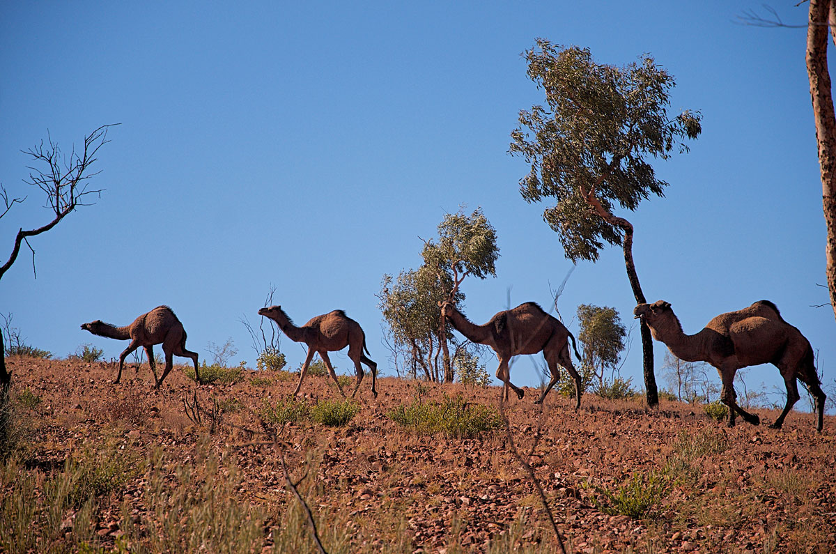 Australia Wild Camels