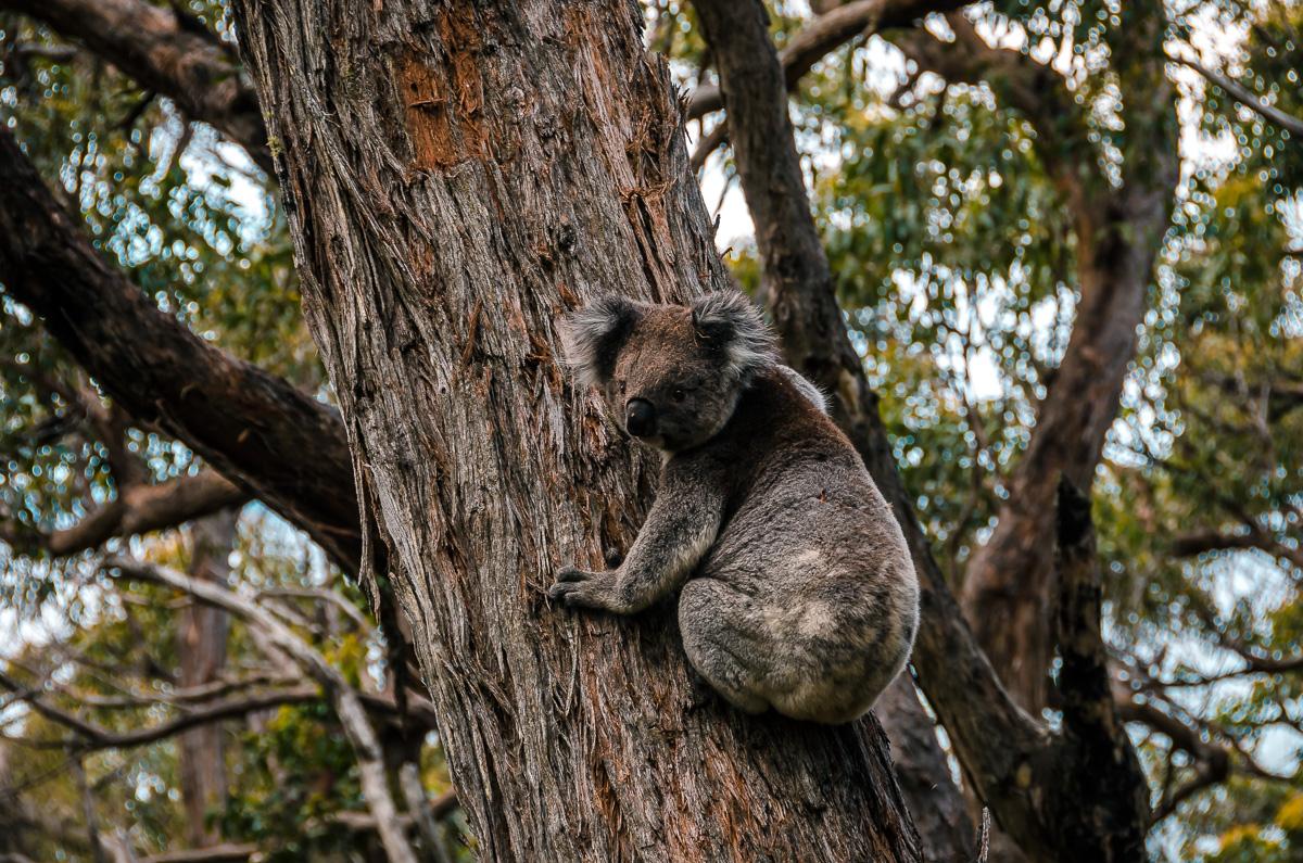 Koala on Great Ocean Walk