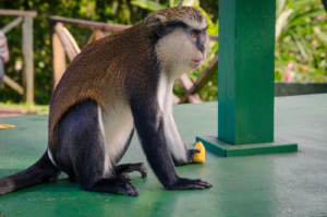 Mona Monkey in Grand Etang Forest Reserve