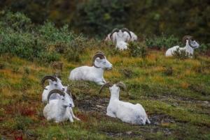 Denali Park - Big Horn Sheep